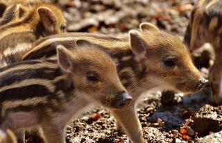 wild-pigs-2782624_1920.jpg